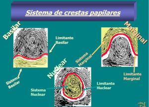Estudio de los dibujos formados por las crestas papilares existente en los dedos (La Lofoscopia)